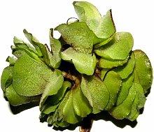 5 x Büschelfarn, Salvina natans, Schwimmpflanzen,