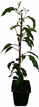 5 x Minikiwi Pflanze fünf verschiedene Sorten -