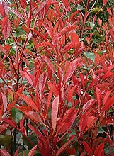 5 x Photinia fraseri 'Little Red Robin'