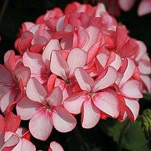 50 / Bag Seltene Garten Blumensamen, Samen