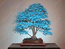 50 Blau Maple Tree Seeds Schöne Bonsai-Baum-Samen
