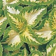 50+ Coleus Wizard Jade-Blumensamen/Jahr