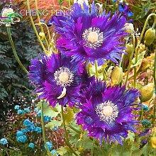 50 Drama Queen Mohnblumen. Papaver Mohn. ~ Leicht zu wachsen, seltene Sorte Bonsai Pflanze