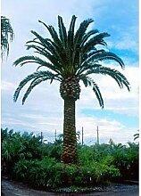 50 kanarische Dattelpalme Samen, Phoenix