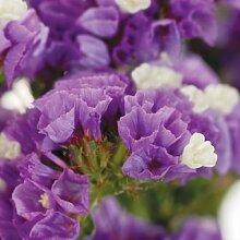 50+ LAVENDEL STATICE Blumensamen/ANNUAL / großes