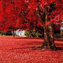 50Partikel Beautiful Japanisch Rot Ahorn Samen,