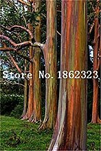 50 PC/Beutel Seltene Eucalyptus Riesen Tropischer