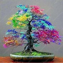 50 PC-Bonsai Ahorn-Samen Zier Bonsai-Baum-Samen