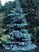 50 PC-Colorado-Tanne Samen s Fichte Samen Pa Baum