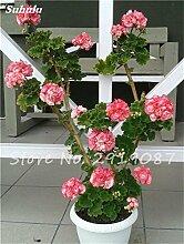 50 PC Exotische Geranium Baum Samen Stauden Pelargonium Peltatum Blumen Topf Geranium Pflanze Bonsai-Baum-Schönheit Ihr Garten 10