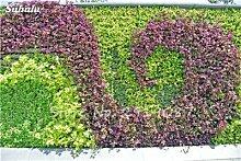 50 PC mischte Boston Seeds 100% Echten Parthenocissus tricuspidata Seed Outdoor Plants fast keine Pflege Dekorative Kletterpflanze 3