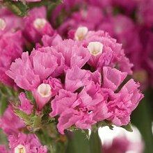 50+ PINK STATICE Blumensamen/ANNUAL / großes