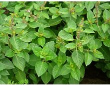 50 Samen - Basilikum- Clove Duf