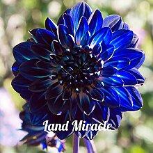 50 Samen Blue Dahlia Blumensamen Schöne Staude Blumen-Samen Dahlia für DIY Hausgarten Sämling Bonsai Pflanze