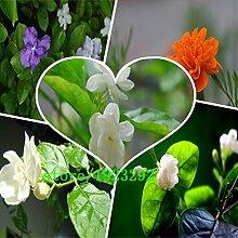 50 Samen bunte Jasmin Indoor-Bonsai Blume Pflanze vier Uhr Blumen Originalverpackung A024
