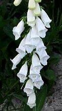 50 Samen - Digitalis Pure White