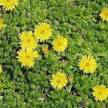 50 Samen Ice Pflanze Gelb Blumensamen