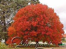 50 Samen Japanischer Ahorn Bonsai-Baum Red Maple