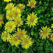 50 + Samen/Pack Dorotheanthus Bellidiformis Yellow