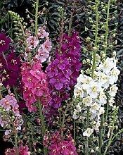 50 + Samen/Pack Verbascum Phoenicium Blumensamen