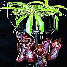 50 Samen / Packung Günstige Bonsai Nepenthes Samen Essen Mosquito Saatgutsorten Pflanzen Bunte Garten-Dekoration Startseite Blumensamen
