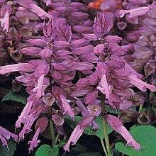 50 Samen Salvia Vista Lavendel Blumensamen Garten