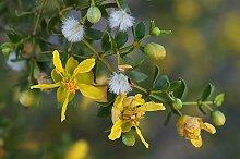 50 Samen von Bio Creosote, Kreosotbusch,
