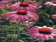 50 Samen von Echinacea Primadonna Rose Kegel