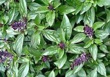 50 Samen von Zimt-Basilikum HR330 (Ocimum