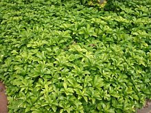 50 St. Bodendecker Pachysandra terminalis