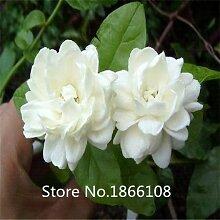 50 Stück weiße Jasmin Samen, duftende