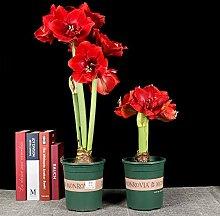 50 Stück Barbados Lily Dekorative Pflanze