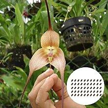 50 Stück/Beutel Orchideensamen Affengesicht
