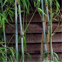 50 Stück Garten Evergreen Arbor Moso Bambus Samen
