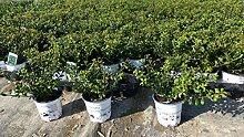 50 Stück Ilex crenata Stokes Heckenpflanze 20 cm