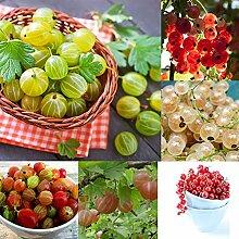 50 Stück Johannisbeerfruchtsamen Hausgarten