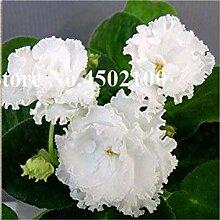 . 50 Stück Mini Bonsai Violet Pflanzen, seltene