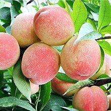 50 Stück Pfirsichsamen Saftige Köstliche