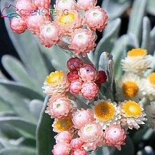 50 Stück Regenbogen Chrysanthemum Blumensamen
