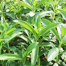 50 Stück Stevia Seeds - Sweet Herb Plant -