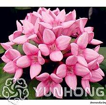 50 Stücke Französisch Bouvardia Longiflora