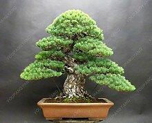 50 Stücke / Los Kiefer Samen Black Pine