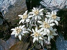 50+ Weiß Edelweiss Bodendecker