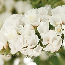 50 + WHITE STATICE Blumensamen/ANNUAL / großes