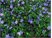 50 x Vinca minor (Blau) Kleines Immergrün