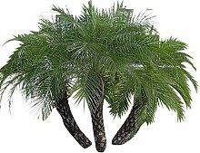 500 Dwarf Dattelpalme Samen (Phoenix roebelenii) -