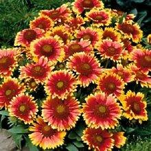 500 Gaillardia Seeds Decke Blumensamen