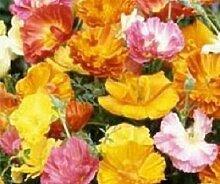 500 Mohn Ballerina Mix Blumensamen