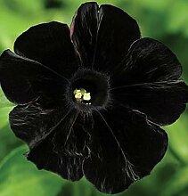 500 Petunien Samen - Schwarz Samt Petunie, seltene
