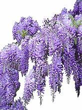 500 Samen Blauregen >Wisteria sinensis<